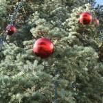 Изберете живо коледно дръвче за празниците