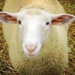 """Около 75 % от овцете в Габровско са ваксинирани против """"син език"""""""