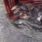 70 кг. риба заловени след проверки на РК Габрово