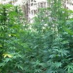 Хванаха 30-годишен мъж с повече от килограм марихуана