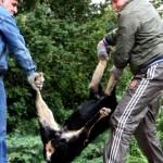 Изродщина! Неизвестен гръмна породиста немска овчарка