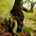 Буковите гори на Централен Балкан – номинирани за ЮНЕСКО