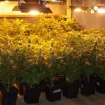 Белезници за мъж, отглеждал 12 растения канабис