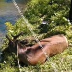 Спасиха елен, хванал се на бракониерски капан (снимки)