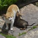Добра майчица: Габровска котка си осинови 4 кученца!