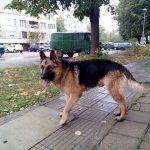 Намерено е изгубено куче, порода немска овчарка!