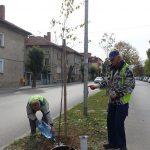 Облагородят зелената система на Севлиево с нови 145 фиданки