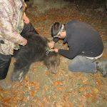 Още една маркирана мечка обитава Балкана