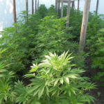 Намериха 10 растения марихуана в зеленчукова градина