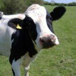 Крава намери смъртта си край Стар Кръвеник