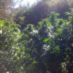 Полицаи спипаха 15-годишен производител на марихуана