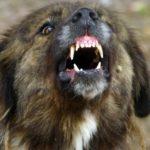Кошмарна случка: Каракачански кучета нахапаха жена край Гъбене!