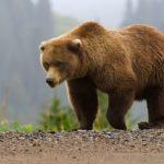 Какво да правим при среща с кафява мечка в природата?