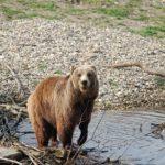 """Популацията на мечките в """"Централен Балкан"""" е стабилна"""