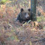 Още един маркиран мечок обитава Балкана