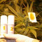 Иззеха над 300 грама марихуана след акция на полицията