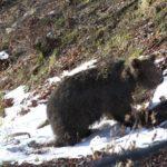 Сложиха нашийник на още един мечок в Балкана