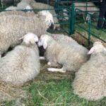 НОКА и евродепутат Момчил Неков инициират изготвянето на национална стратегия за развитие на секторите овцевъдство и козевъдство