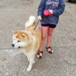 Намерено е изгубено куче, порода акита ину! (снимки)