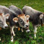 Откраднаха шест телета от пасище в Кръвеник