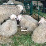 Момчил Неков с питане към ЕК относно ушните марки на овцете и козите